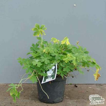 Buy Geranium phaeum 'Album' online from Jacksons Nurseries