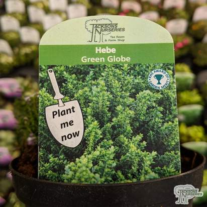 Buy Hebe 'Green Globe' (Alpine) online from Jacksons Nurseries.