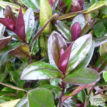 Buy Hebe 'Santa Monica' online from Jacksons Nurseries.