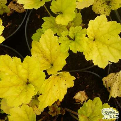 Buy Heuchera 'Electra' online from Jacksons Nurseries.