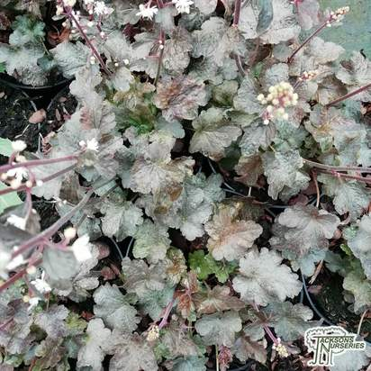 Buy Heucherella 'Quicksilver' online from Jacksons Nurseries
