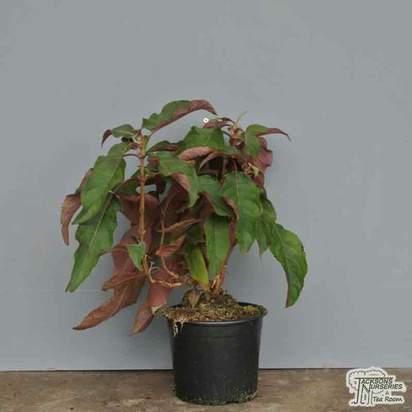 Buy Hydrangea aspera 'Hot Choclate' (Rough-leaved Hydrangea) online from Jacksons Nurseries