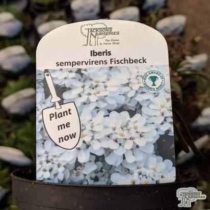 Buy Iberis sempervirens 'Fischbeck' online from Jacksons Nurseries