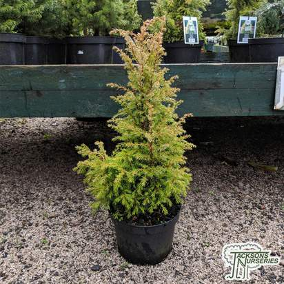Buy Juniperus communis 'Gold Cone' online from Jacksons Nurseries