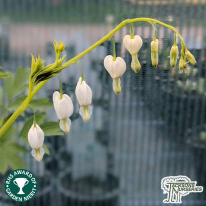 Buy Lamprocapnos spectabilis Alba (Dicentra, Bleeding Heart) online from Jacksons Nurseries