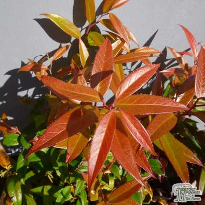 Buy Leucothoe keiskei Royal Ruby (Switch Ivy) online from Jacksons Nurseries