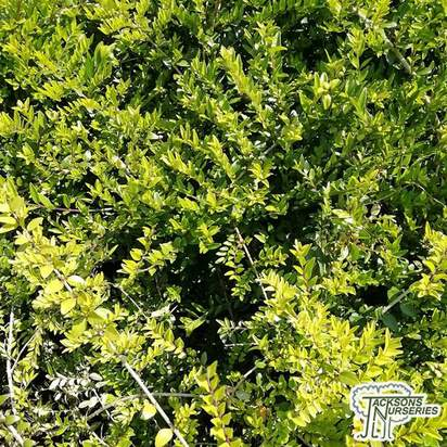 Buy Lonicera nitida 'May Green' online from Jacksons Nurseries.