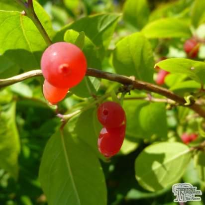 Buy Lonicera fragrantissima at Jacksons Nurseries