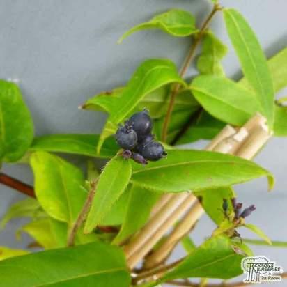 Buy Lonicera henryi (Honeysuckle) online from Jacksons Nurseries.
