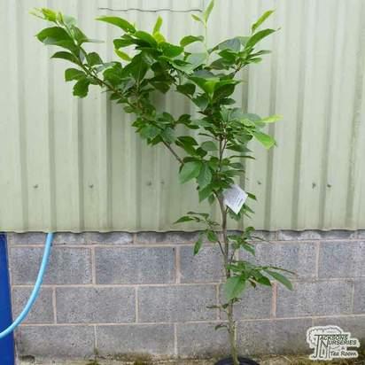 Buy Magnolia 'Old Port' online from Jacksons Nurseries