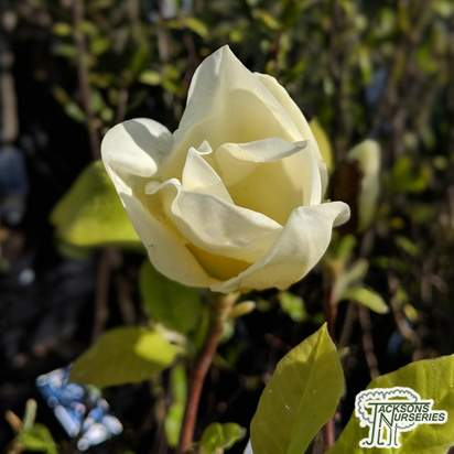 Buy Magnolia denudata Yellow River online from Jacksons Nurseries