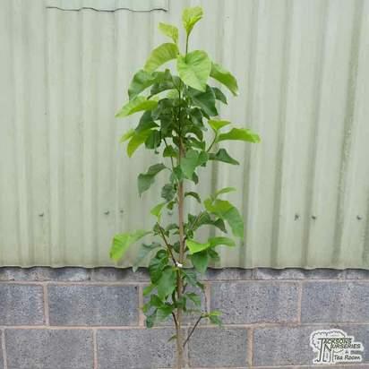 Buy Magnolia x brooklynensis 'Yellow Bird' online from Jacksons Nurseries