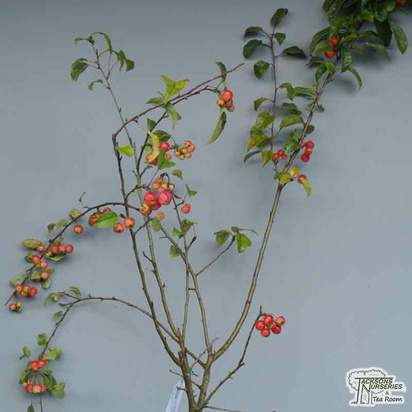 Buy Malus x robusta Red Sentinel online from Jacksons Nurseries