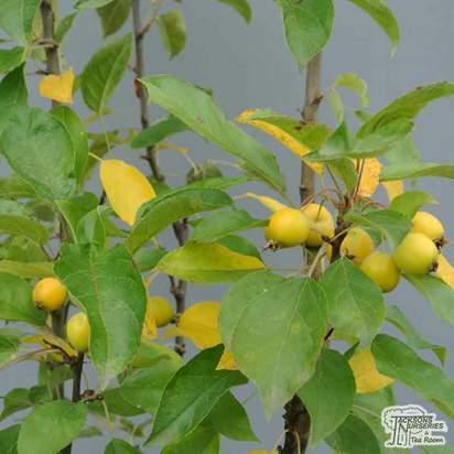 Buy Malus x zumi golden Hornet online from Jacksons Nurseries