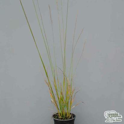 Buy Molinia caerulea subsp. arundinacea 'Transparent' online from Jacksons Nurseries