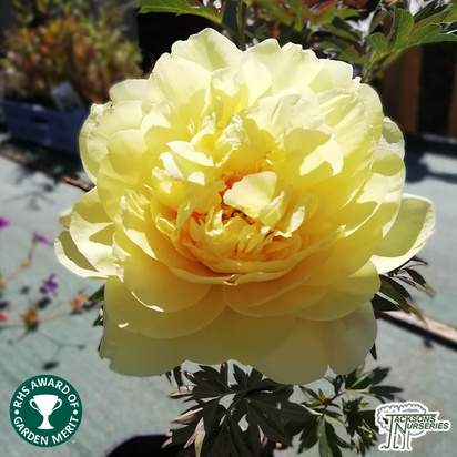 Buy Paeonia 'Bartzella' (Peony) online from Jacksons Nurseries