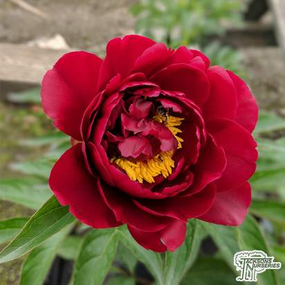 Buy Paeonia 'Cherry Hill' (Peony) online from Jacksons Nurseries