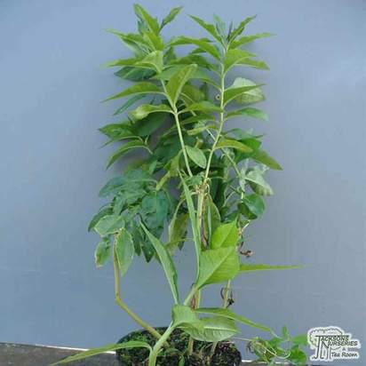 Buy Phlox paniculata Tenor (Garden Phlox) online from Jacksons Nurseries.