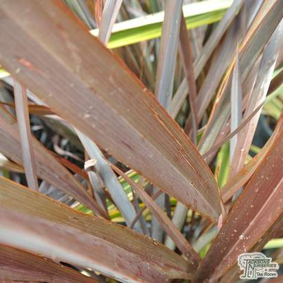 Buy Phormium 'Bronze Baby' (New Zealand Flax) online from Jacksons Nurseries.