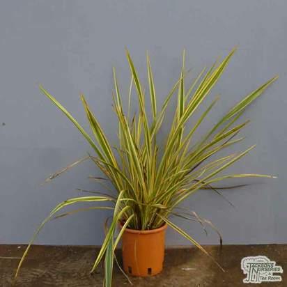 Buy Phormium Golden Ray (New Zealand Flax) online from Jacksons Nurseries
