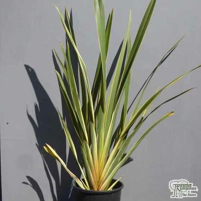 Buy Phormium tenax Variegata (Variegated New Zealand Flax) online from Jacksons Nurseries