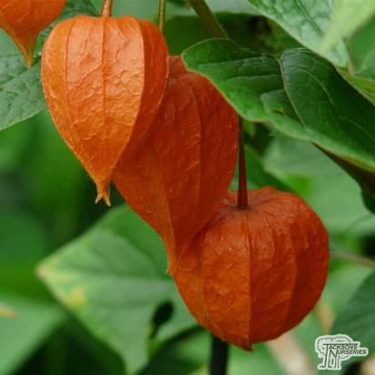 Buy Physalis alkekengi var. franchetii from Jacksons Nurseries