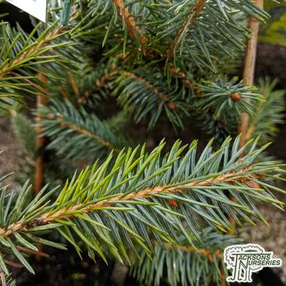 Buy Picea pungens 'Fat Albert' online from Jacksons Nurseries
