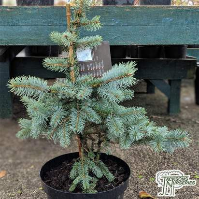 Buy Picea pungens 'Koster' online from Jacksons Nurseries
