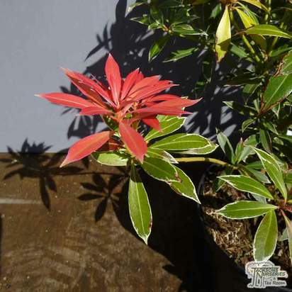 Buy Pieris Flaming Silver (Lily-of-the-Valley Shrub) online from Jacksons Nurseries