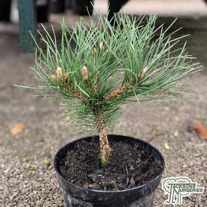 Buy Pinus nigra 'Nana' (Dwarf Black Pine) online from Jacksons Nurseries