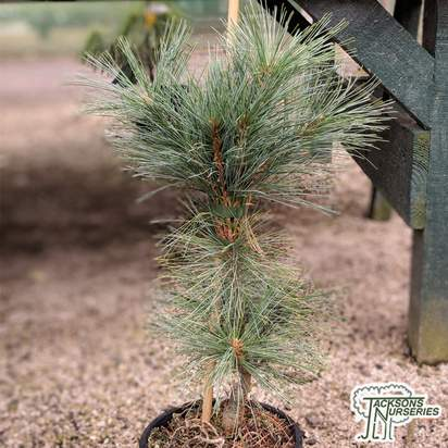 Buy Pinus strobus 'Fastigiata' online from Jacksons Nurseries
