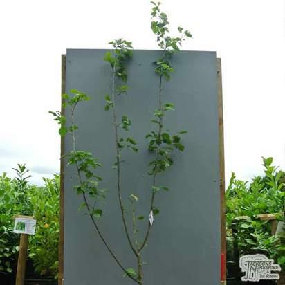 Buy Plum - Prunus domestica 'Czar' online from Jacksons Nurseries
