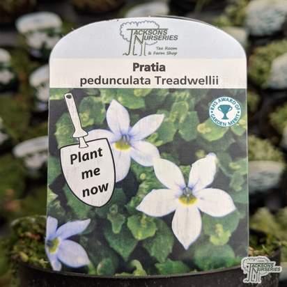 Buy Pratia pedunculata 'Treadwellii' online from Jacksons Nurseries