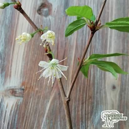 Buy Prunus serrula (Mahogony Bark Cherry (Tibetan Cherry)) online from Jacksons Nurseries