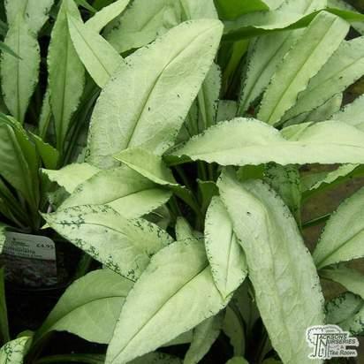Buy Pulmonaria 'Diana Clare' (Lungwort) online from Jacksons Nurseries