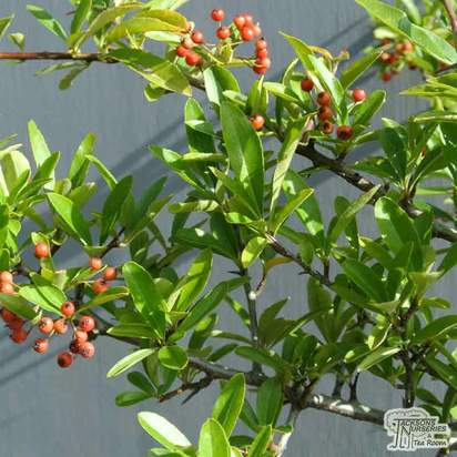 Pyracantha Saphyr Rouge 'Cadrou' - Jacksons Nurseries