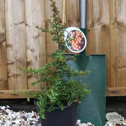 Buy Pyracantha Teton (Scarlet Firethorn) online from Jacksons Nurseries.