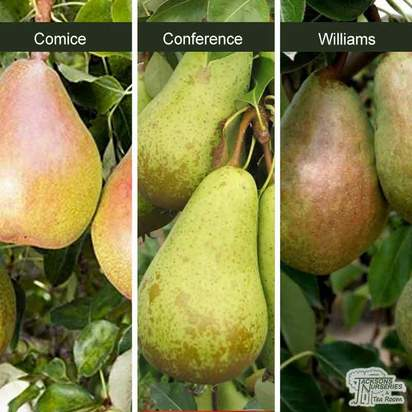 Buy Pear - Pyrus Communis Family Tree 'Comice/Conference/Williams' online from Jacksons Nurseries