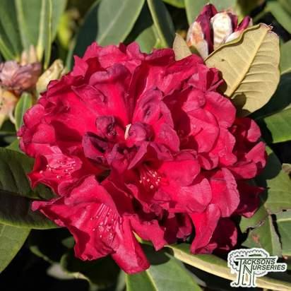Buy Rhododendron x hybrid 'Black Magic'