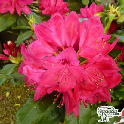 Buy Rhododendron 'Nova Zembla' online from Jacksons Nurseries