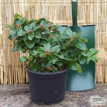 Buy Rhododendron Scarlet Wonder (Dwarf Rhododendron) online from Jacksons Nurseries