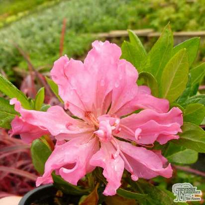 Buy Rhododendron azalea 'Bloom-a-thon Pink' online from Jacksons Nurseries