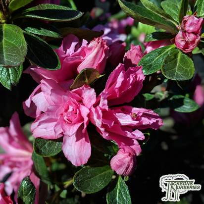 Buy Azalea japonica 'Bloom-a-thon Pink' online from Jacksons Nurseries