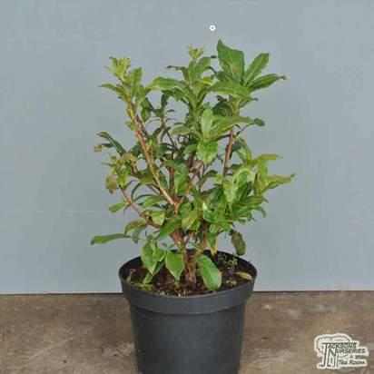 Buy Rhododendron Azalea Gibraltar (Deciduous Hybrid Azalea) online from Jacksons Nurseries