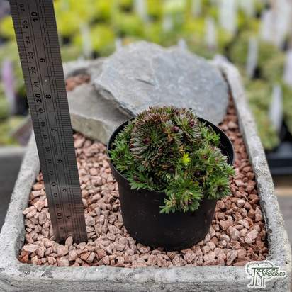 Buy Saxifraga 'Peter Pan' online from Jacksons Nurseries