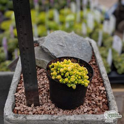 Buy Sedum acre 'Aureum' online from Jacksons Nurseries
