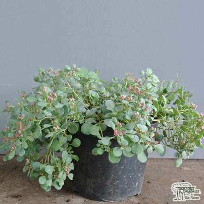 Buy Sedum cauticola (Stonecrop) online from Jacksons Nurseries