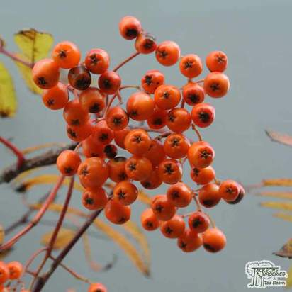 Buy Sorbus aucuparia Apricot Queen (Moutain Ash) online from Jacksons Nurseries