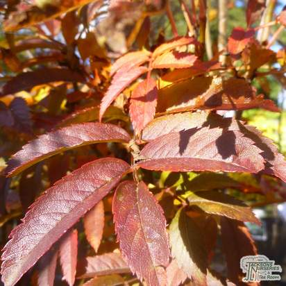 Buy Sorbus aucuparia 'Autumn Spire' online in the UK at Jacksons Nurseries
