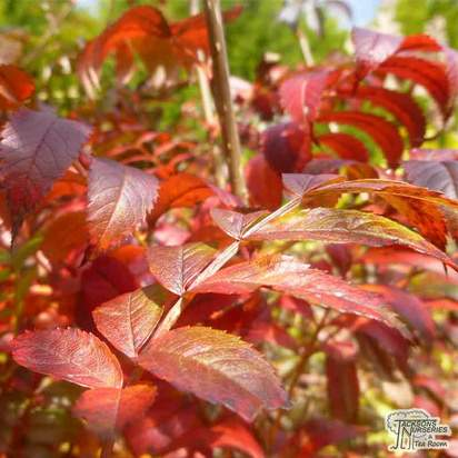 Buy Sorbus commixta online from Jacksons Nurseries
